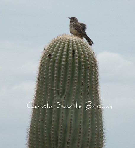Cactus Wren on Saguarro