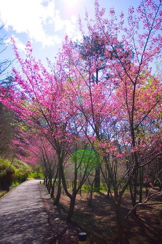 MAR/2012 武陵櫻花 PENTAX版 (DA14 FA77)