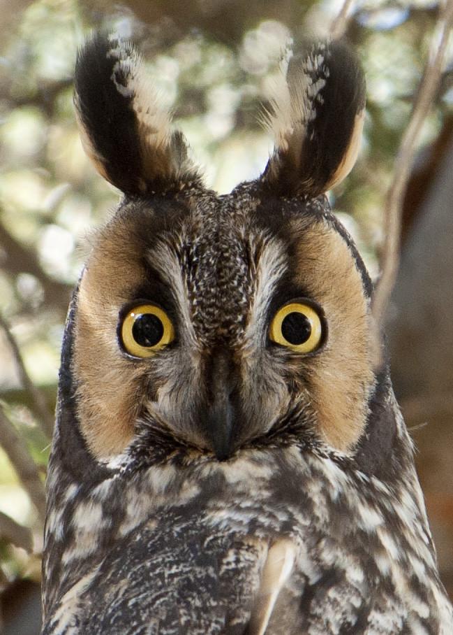 Long-eared Owl-portrait