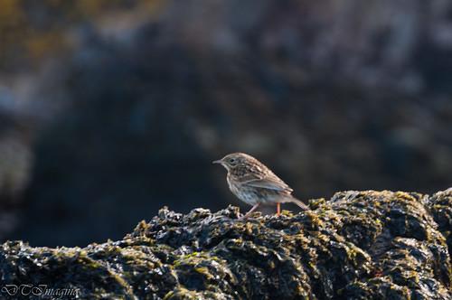 bird southgeorgia prionisland
