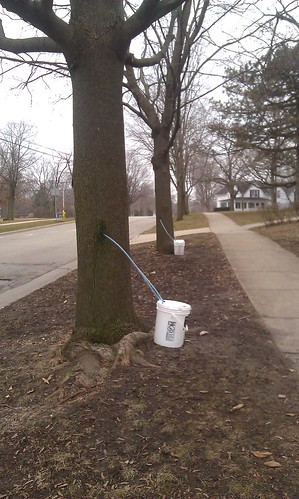 People are tapping maple syrup trees in my neighborhood!