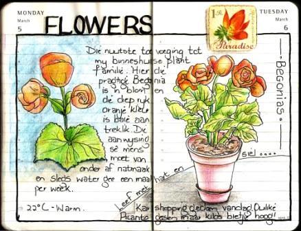 Begonias by Ansota