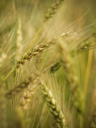無料写真素材, 花・植物, 小麦・コムギ, 田園・農場