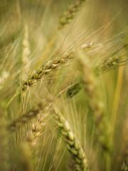 [Free Images] Flowers / Plants, Wheat, Field / Farm ID:201203130600