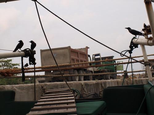 шри-ланка, черные птицы