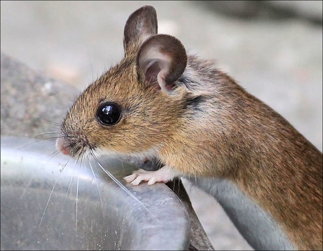 Field Mouse | Flickr - Photo Sharing!