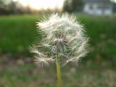 dandelion by Teckelcar