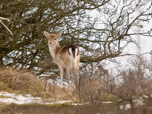 Fallow Deer  - Amsterdam Water Supply Dunes
