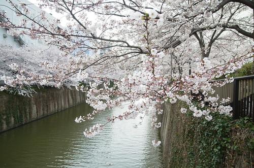 Megurogawa Sakura 13