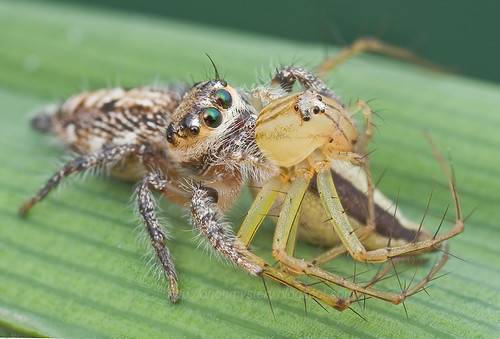 Jumping spider with lynx spider prey IMG_9828 stacked copy