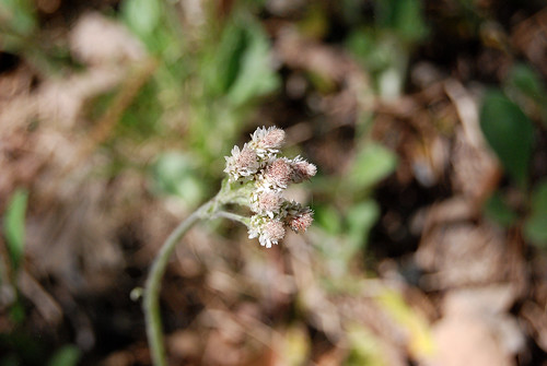 Male staminate flowers of Pussy Toes, Antennaria plantaginifolia, a wildflower which grows in the Ozarks.