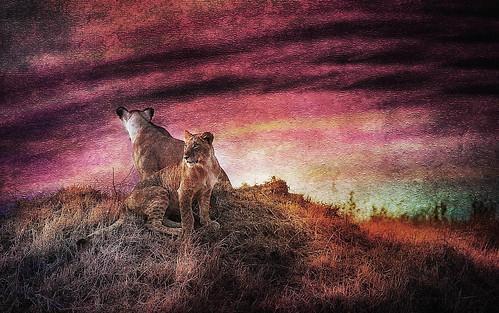 africa sunset red sun landscape explore textures lions
