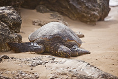 leatherback turtle(0.0), emydidae(0.0), animal(1.0), turtle(1.0), reptile(1.0), loggerhead(1.0), fauna(1.0), close-up(1.0), common snapping turtle(1.0), wildlife(1.0), sea turtle(1.0), tortoise(1.0),