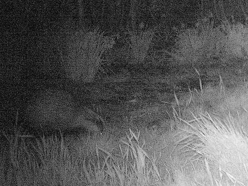 Badger crop