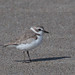 Snowy Plover by Tom Clifton