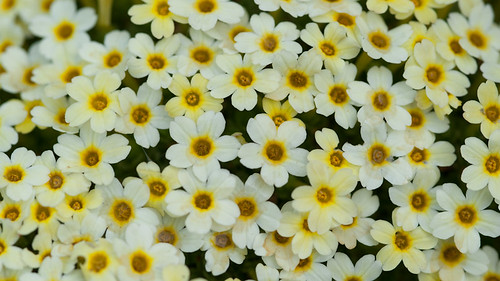 Dionysia curviflora x tapetodes