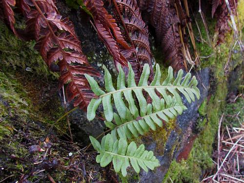 Многоно́жка обыкнове́нная, или Сла́дкий па́поротник — вид травянистых папоротников семейства Многоножковые. Википедия Автор фото: Kari Pihlaviita