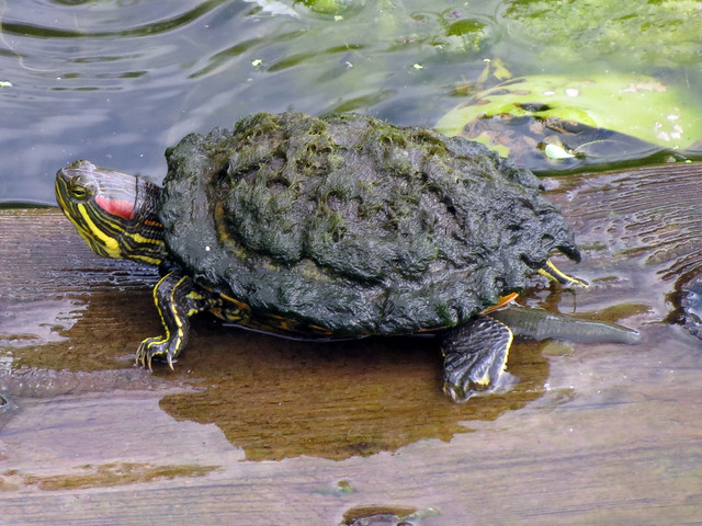 Red-eared Slider w/ leech
