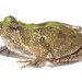 Small photo of Cricket frog Acris crepitans