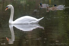 Lone Swan, Boscawen Park, Truro by Stocker Images