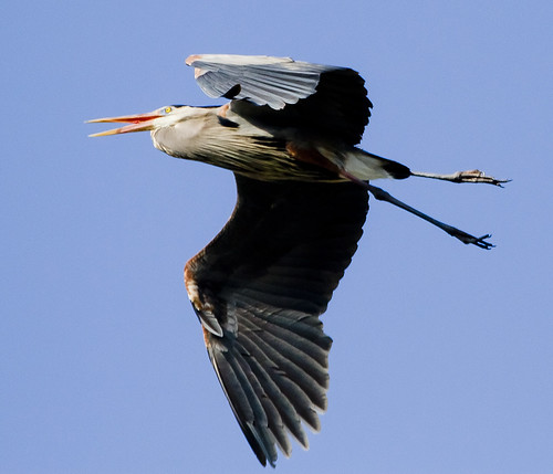 Great Blue Heron Fly-By by Ricky L. Jones Photography
