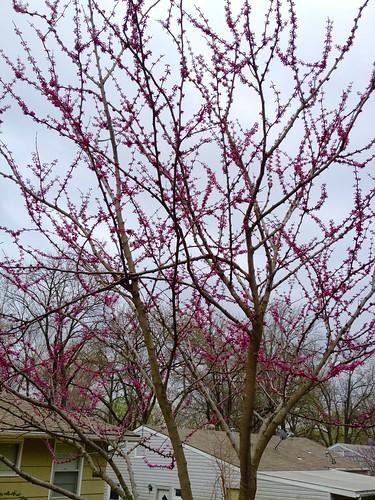 Redbuds In The Backyard
