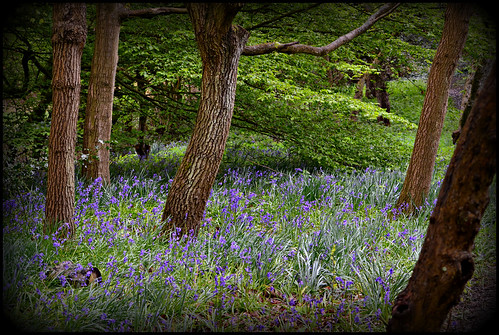 The Bluebell Orchard