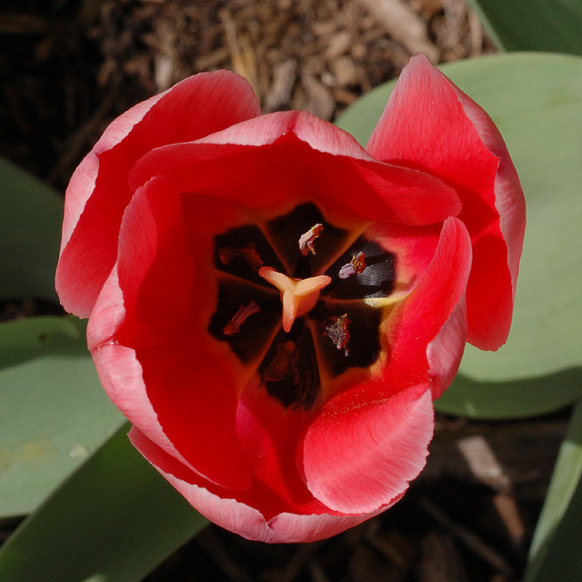 View inside a tulip cup