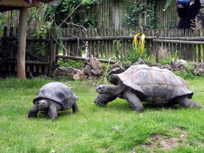 04-07-2012_Aldabra tortoises