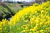 Photo:scene of yellow rape flowers By yellow_bird_woodstock