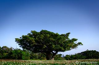 シロツメクサとガジュマルの木