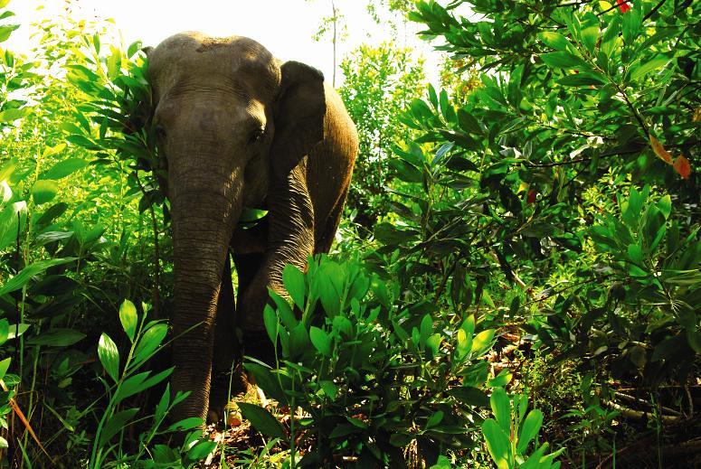 印尼廖內省Giam Siak Kecil區的大象為APP亞洲漿紙重點保育動物之一。照片提供:APP亞洲漿紙。