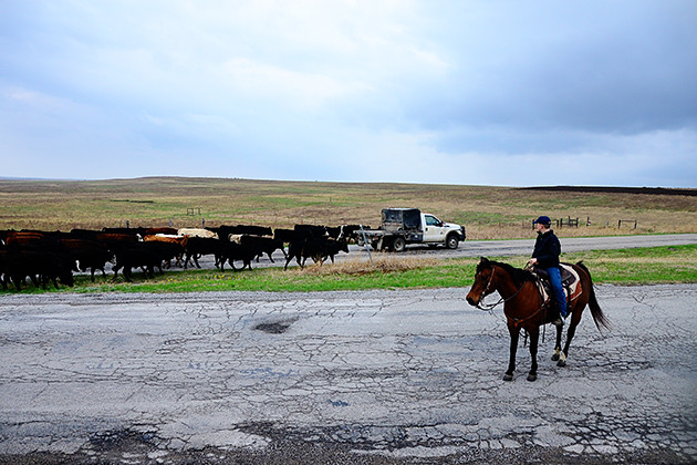 Working Cattle