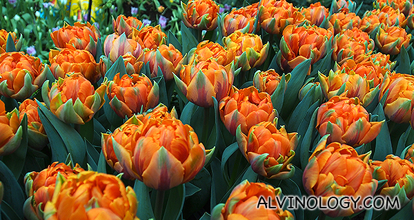 Sea of orange tulips