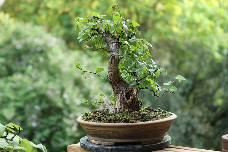 Wee Trees Bonsai Help Forum Advice For All View Topic Sleepy Hollow English Elm