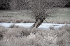 pollard willow in front of old ice