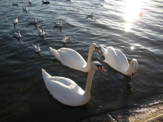 hello, swan