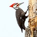 Pileated Woodpecker Male - Lake Martin, Louisiana
