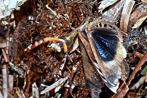 Deroplatys dessicata (Mantidae)