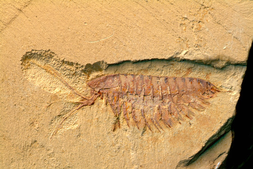 The soft-bodied arthropod Leanchoilia from the Chengjiang deposit, Yunnan, China