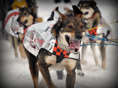 Iditarod Doggie