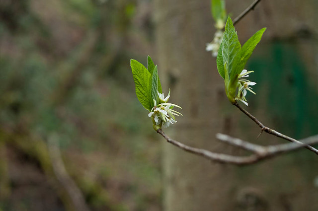 Indian plum or osoberry (Oemlaria cerasiformis) buds and flowers