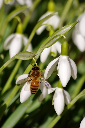 Snowdrops and Bee 2 by Violet Brown