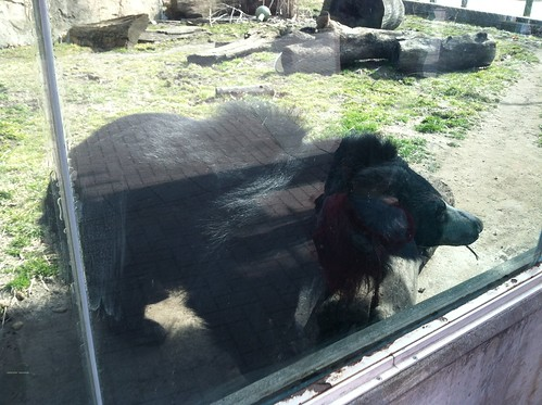 Sloth Bear at the Toledo Zoo