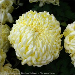 Chrysanthemum 'Boulou Yellow' - Chryzantema 'Boulou Yellow'