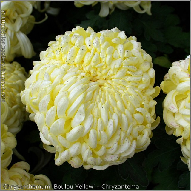 Chrysanthemum 'Boulou Yellow' - Chryzantema 'Boulou Yellow'