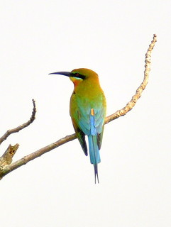 Blue-tailed bee eater - 1