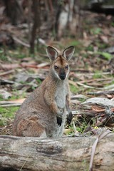 white-tailed deer(0.0), wallaby(1.0), animal(1.0), marsupial(1.0), mammal(1.0), kangaroo(1.0), fauna(1.0), wildlife(1.0),