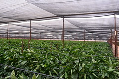 實施IPM農法的青椒田