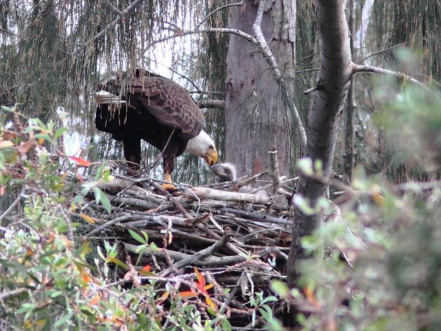 Bald Eagle male feeding eaglet 20120217